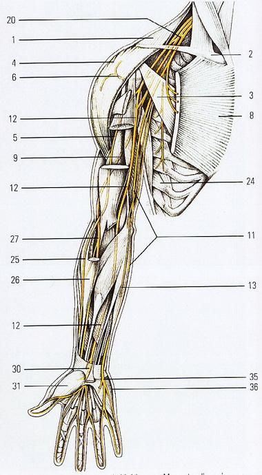 Надостная мышца